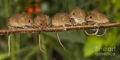 Five Eurasian Harvest Mice Poster by Jean-Louis Klein & Marie-Luce Hubert