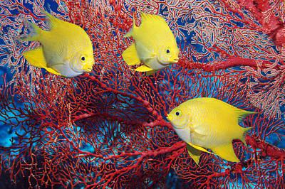 Golden Damselfish Poster by Georgette Douwma
