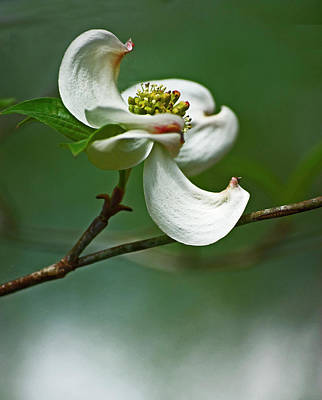 Graceful Dogwood Poster by Elsa Marie Santoro