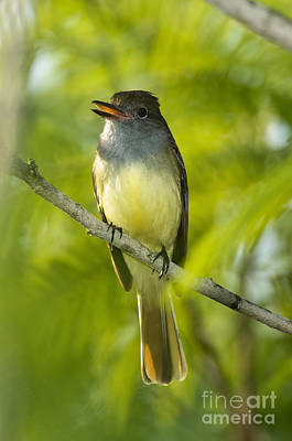 Great Crested Flycatcher Poster by Anthony Mercieca