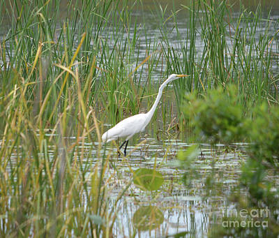 Great Egret Watching And Waiting Poster by Ruth Housley