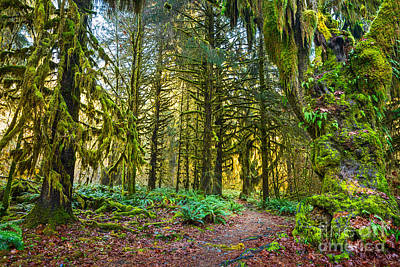 Hall Of Mosses In The Hoh Rainforest. Poster