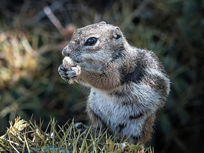 Harris' Antelope Squirrel Poster by Tam Ryan