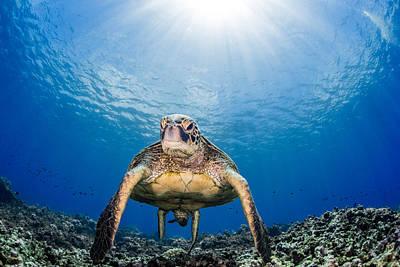 Hawaiian Turtle Poster