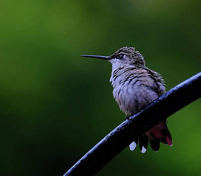 Hummingbird Portrait Poster