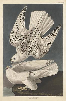 Iceland Or Jer Falcon Poster by John James Audubon