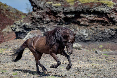 Icelandic Black Stallion, Iceland Poster by Panoramic Images