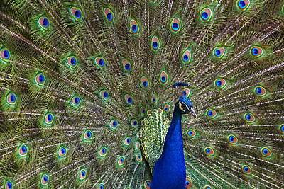 Indian Peafowl Male With Tail Fanned Poster