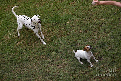 Jack Russell And Dalmatian Playing Poster by Gerard Lacz