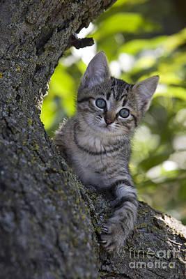Kitten In A Tree Poster by Jean-Louis Klein & Marie-Luce Hubert
