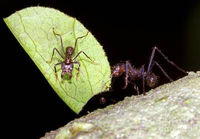 Leaf-cutter Ants Poster by Dr. Morley Read