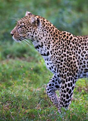 Leopard Panthera Pardus, Ndutu Poster by Panoramic Images