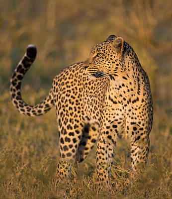 Leopard Panthera Pardus, Serengeti Poster