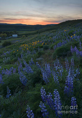 Lupine Sunset Poster by Mike Dawson