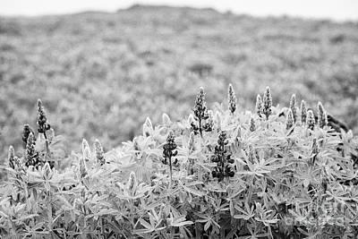 lupins lupinus nootkatensis growing wild near vik southern Iceland Poster by Joe Fox