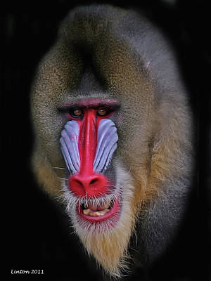 Mandrill Poster by Larry Linton
