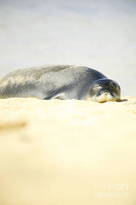 Monk Seal Pup Poster by Kicka Witte - Printscapes