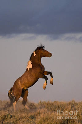Mustang Stallion Poster
