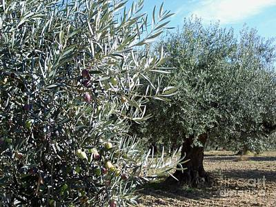 Poster featuring the photograph Olive Trees by Judy Kirouac