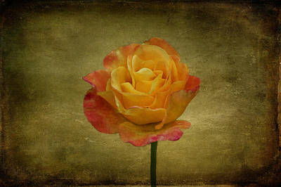 Orange Rose Poster by Sandy Keeton