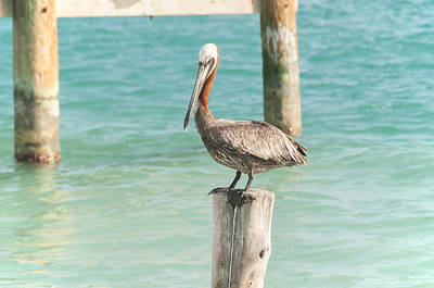 Pelican At Isla Mujeres Poster