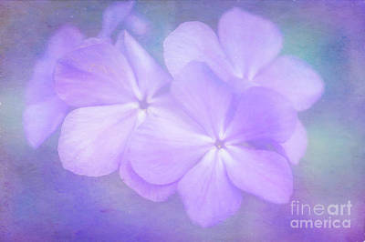 Phlox In The Evening Light Poster