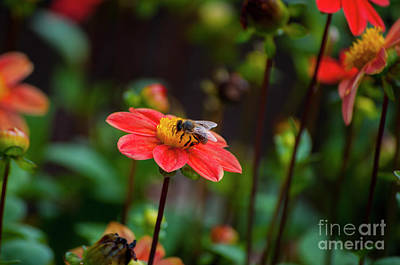 Pink Dahlia With Bee Poster by Mandy Judson