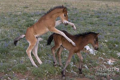 Playful Mustang Foals Poster