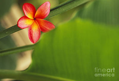 Plumeria Blossoms Poster by Dana Edmunds - Printscapes