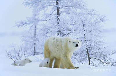 Polar Bear And Cubs Poster by Jean-Louis Klein & Marie-Luce Hubert