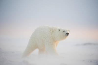 Polar Bear  Ursus Maritimus , Young Poster by Steven Kazlowski