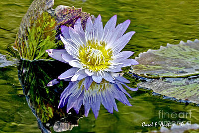 Purple Water Lily Pond Poster by Carol F Austin