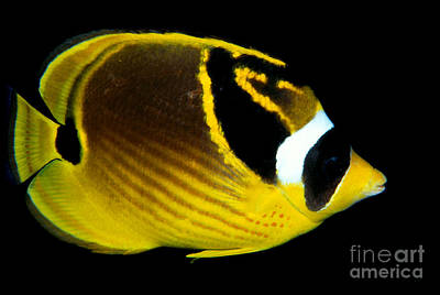 Raccoon Butterflyfish Poster by Dave Fleetham - Printscapes