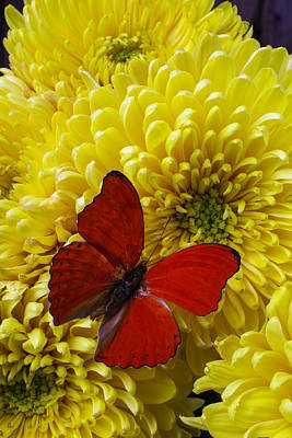 Red Butterfly On Yellow Mums Poster by Garry Gay