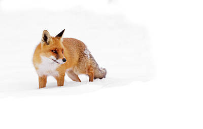 Red Fox In A White World Poster