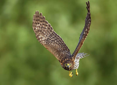 Poster featuring the photograph Red-tailed Hawk by Peter Lakomy