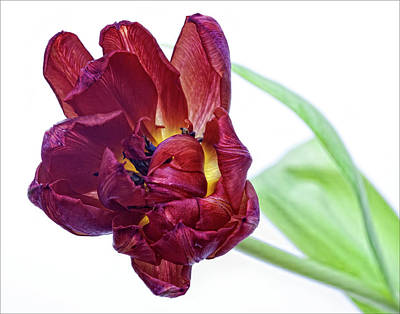 Red Tulip Poster by Robert Ullmann