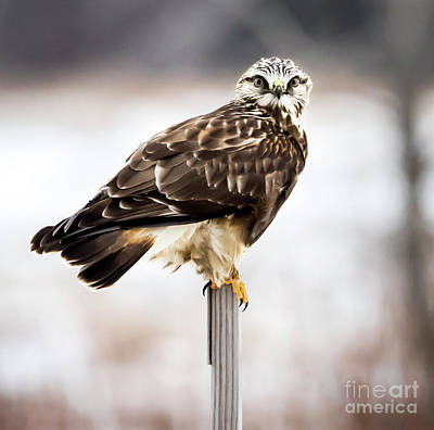 Poster featuring the photograph Rough-legged Hawk by Ricky L Jones