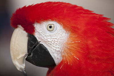 Scarlet Macaw Perched At A Local Plaza Poster