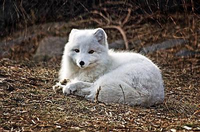 Snow Fox Poster by Cheryl Cencich