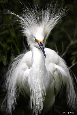 Snowy Egret Poster by Fran Gallogly