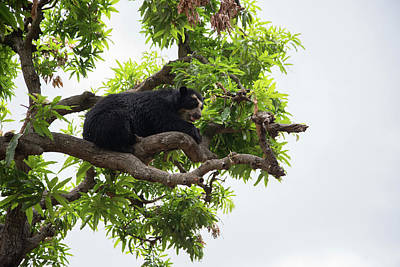 Spectacled Bears Poster