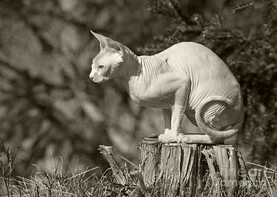 Sphynx Cat Poster by Allan Wallberg