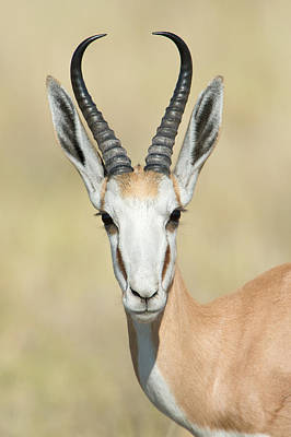 Springbok Antidorcas Marsupialis Poster by Panoramic Images