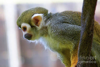 Squirrel Monkey Poster by Afrodita Ellerman
