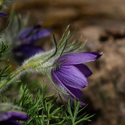 Stunning Macro Image Of Pulsatilla Vulgaris Flower In Bloom Poster