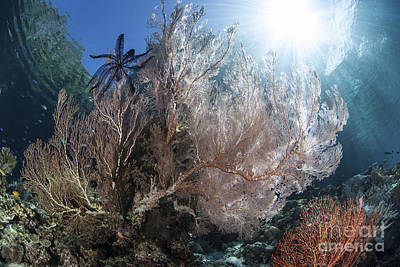 Sunlight Illuminates A Large Gorgonian Poster by Ethan Daniels