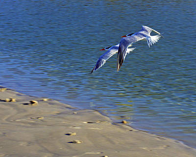 2 Terns In Flight Poster