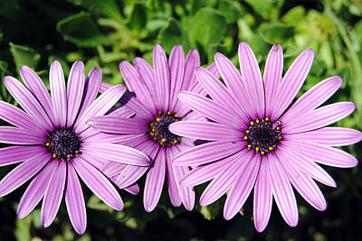 The African Daisy 2 Poster
