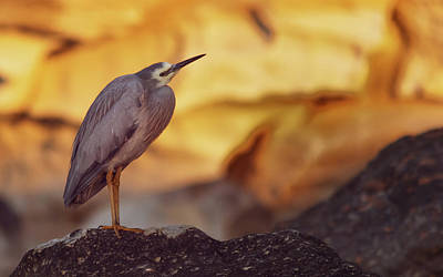 White-faced Heron At The Beach Poster